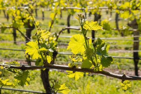 hojas parra: hojas de vid que crecen en viñedo en la primavera temprana Foto de archivo
