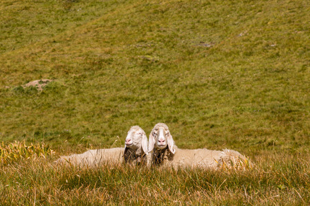 lop eared: two bergamasca sheep basking on alpine meadow