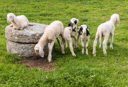 lop eared: flock of lop eared alpine lambs on green meadow