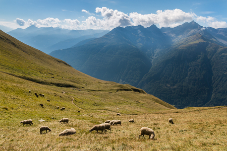 lop eared: flock of sheep grazing on slope in Austrian Alps