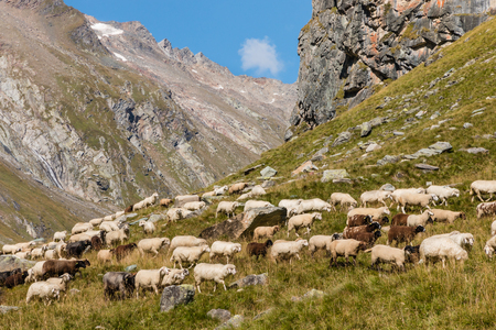 lop eared: flock of alpine sheep grazing on steep  slope in Austrian Alps