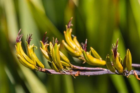 new zealand flax: Phormium colensoi - New Zealand mountain flax flowers
