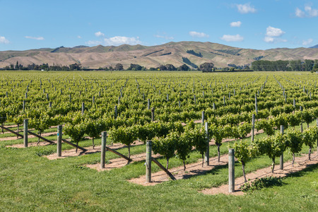 wither: Wither Hills vineyards in Marlborough Region, New Zealand Stock Photo