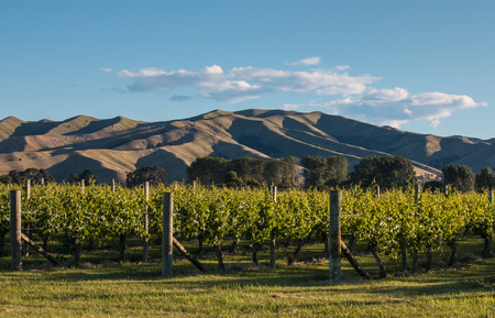 wither: sunset over vineyard at Wither Hills in New Zealand Stock Photo
