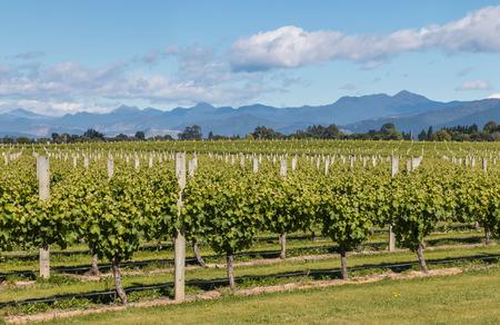 marlborough: grapevine in New Zealand vineyard in summertime