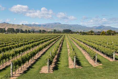 marlborough: aerial view of New Zealand vineyards in summertime