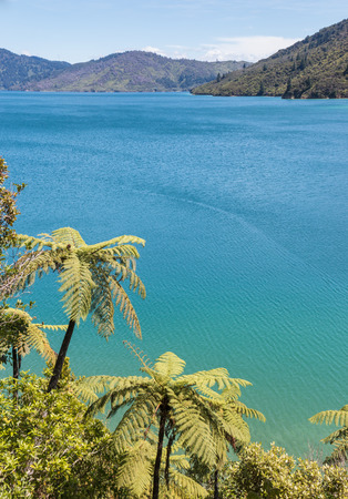 silver tree ferns growing on coast in Marlborough Sounds, New Zealand Stock Photo