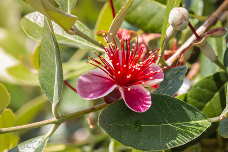 detail of feijoa tree flower in bloom Stock Photo