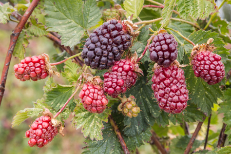 boysenberry bush with ripening berries Stock Photo