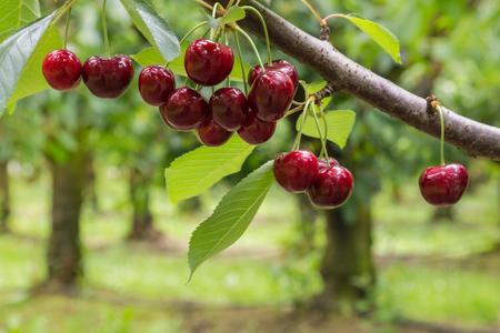 geïsoleerde rode kersen op boom in kersenboomgaard
