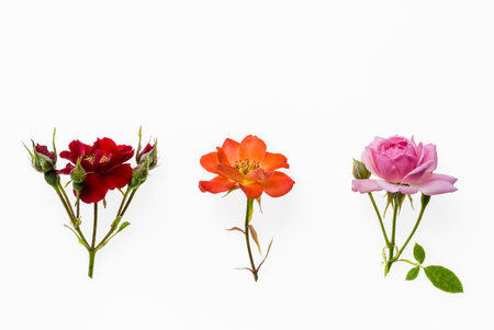 iluminado a contraluz: red, pink and orange tea rose isolated on white background Foto de archivo