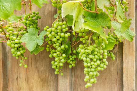 sauvignon: closeup of unripe Sauvignon Blanc grapes on vine Stock Photo