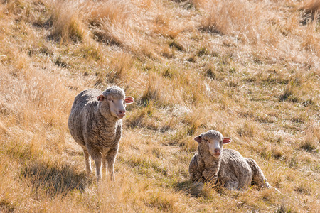 dry cow: two merino sheep resting on dry grass