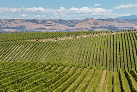 rolling hills with vineyards in summertime