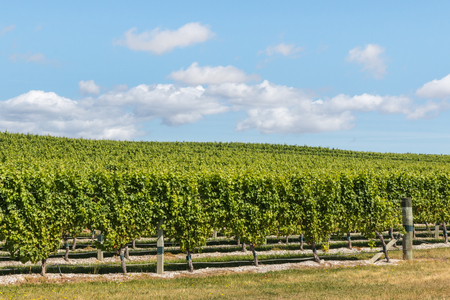 marlborough: grapes growing in rows in New Zealand vineyard