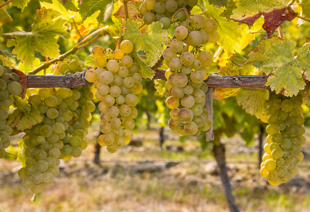 closeup of ripe Chardonnay grapes on vine in autumn vineyard