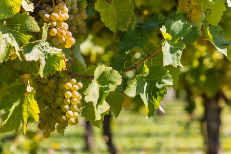 ripe Sauvignon Blanc grapes on vine in vineyard in autumn
