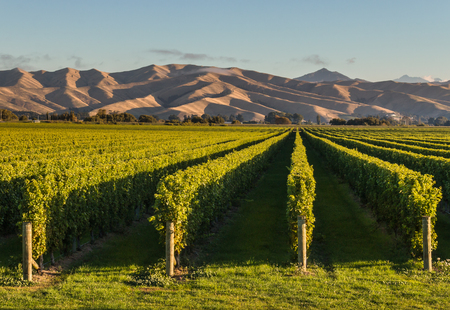 marlborough: New Zealand vineyards at sunset with copy space