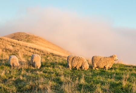 marlborough: flock of merino sheep grazing on grassy hill at sunset