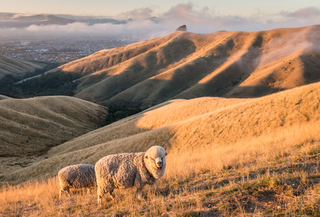 merino sheep grazing on Wither Hills in New Zealand at sunset