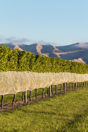 row of grapevine with protective netting growing in vineyard