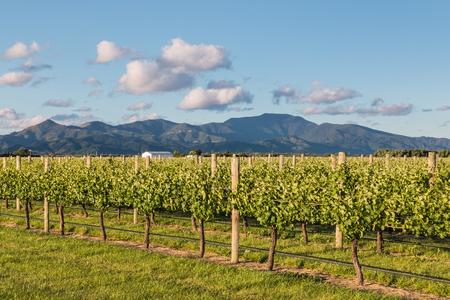 marlborough: vine training and irrigation system in New Zealand vineyard Stock Photo