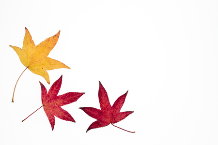 yellow and red Japanese maple leaves on white background with copy space