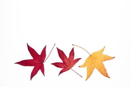 Japanese maple leaves isolated on white background