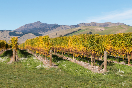 rows of grapevine in New Zealand vineyard after harvest Stock Photo