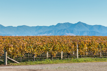 rows of grapevine after harvest with mountains and copy space