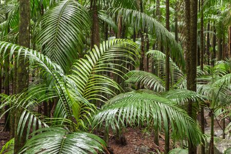 King Alexander palm trees growing in tropical rainforest