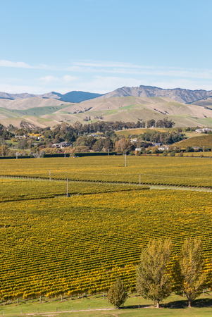 marlborough: rows of grapevine growing in New Zealand vineyards in autumn