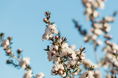 isolated white manuka tree flowers with blue sky background 스톡 콘텐츠