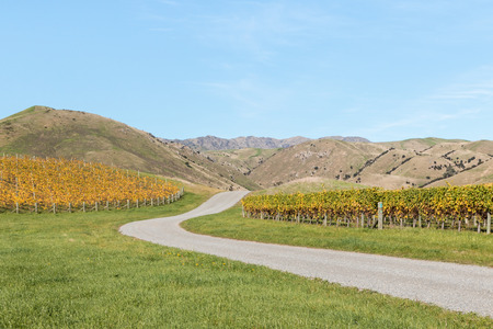 marlborough: gravel road across vineyard in autumn with blue sky and copy space