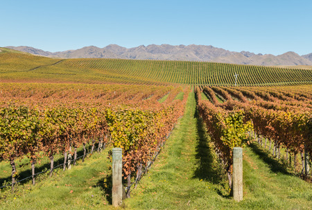 marlborough: New Zealand vineyards in autumn with mountain range and blue sky Stock Photo