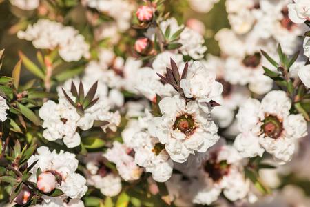 満開の白いマヌカ木花のクローズ アップ
