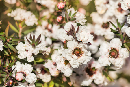 close-up of white manuka tree flowers in bloom