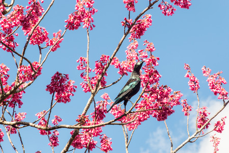tui bird feeding on nectar from cherry blossom Banco de Imagens
