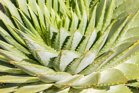 polyphylla: close-up of spiral aloe cactus leaves