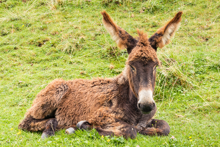 close up of brown donkey foal resting on grass Stock Photo