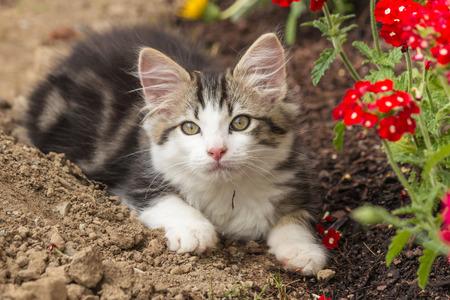 playful tabby kitten resting on soil in garden Stock Photo