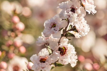 isolated white manuka tree flowers in bloom