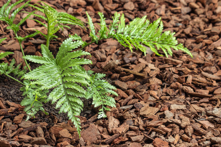 closeup of Asplenium bulbiferum fern growing on mulched soil Stock Photo