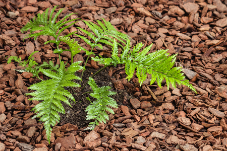 mother spleenwort fern growing in mulched soil with copy space Stock Photo