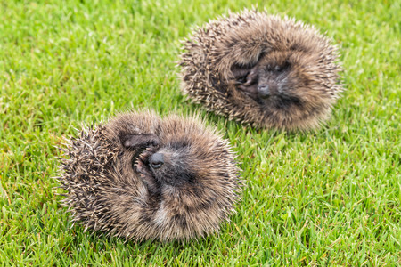 two hedgehogs rolled up into ball lying on grass
