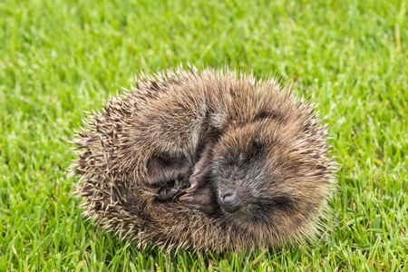baby hedgehog rolled up in ball on grass