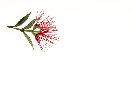 cluster of New Zealand Christmas tree flowers isolated on white background