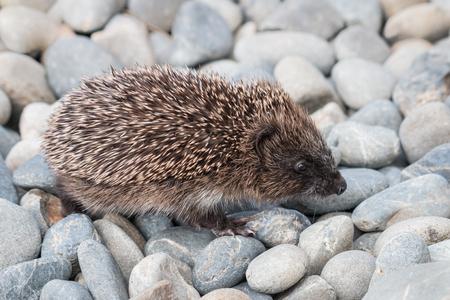 Baby European hedgehog walking across pebbles