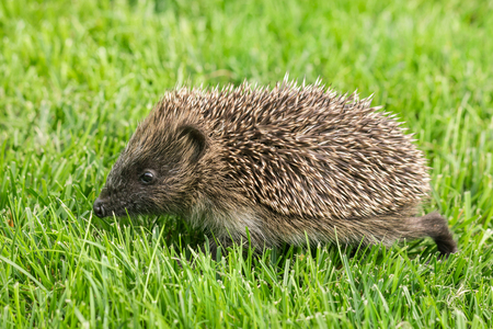 Baby hedgehog foraging for food on grass Stock Photo