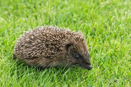 Closeup of baby European hedgehog on lawn Stock Photo